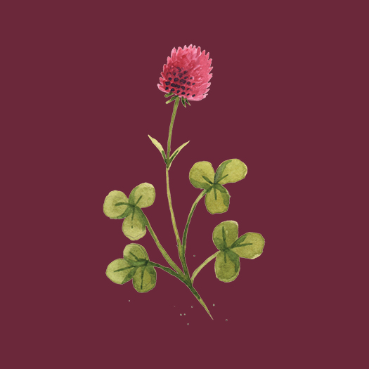 Clover Watercolor Illustration © Cynthia Oswald
