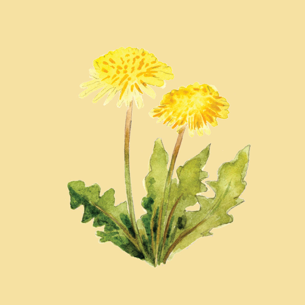 Dandelion Watercolor © Cynthia Oswald
