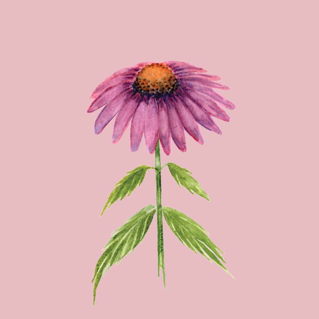 Echinacea Watercolor Cynthia Oswald
